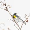 yellow-rumped warbler_7097