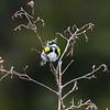 yellow-rumped warbler_7089