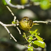 palm warbler_2754