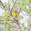 yellow-warbler_6506