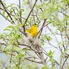 yellow-warbler_6521