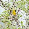 yellow-warbler_6522
