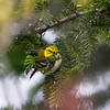 black-throated green warbler_7215