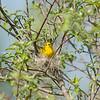 yellow-warbler_6484