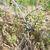 yellow-rumped warbler_7297