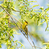 cape may warbler_6414