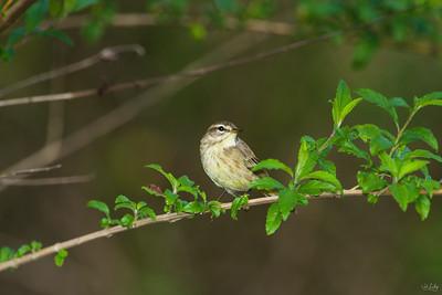 palm warbler_8615
