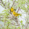 yellow-warbler_6511