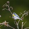 yellow-rumped warbler_7095