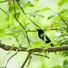 black-throated blue warbler_6695