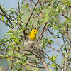 yellow-warbler_6485