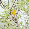 yellow-warbler_6513