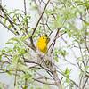 yellow-warbler_6500
