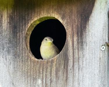House Wren in Blue Bird House