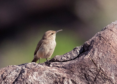 Rock Wren, Taquitz Canyon, Palm Springs