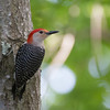 Red-bellied Wookpecker