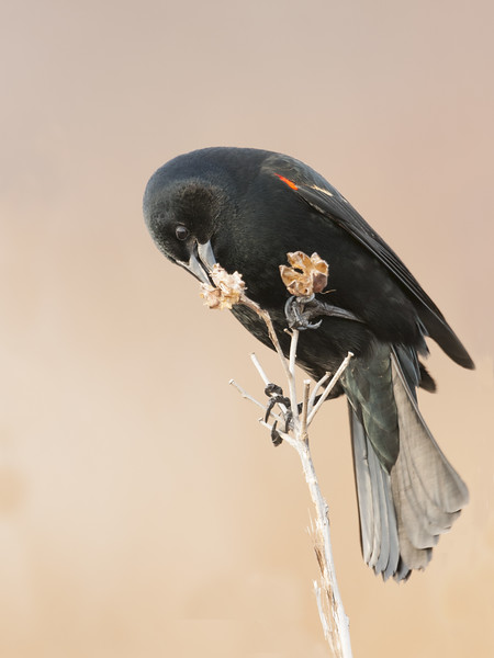 Red-Winged Blackbird - Male - Feeding