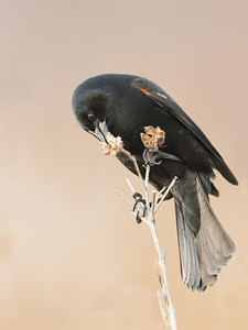 Red-Winged Blackbird - Male - Feeding