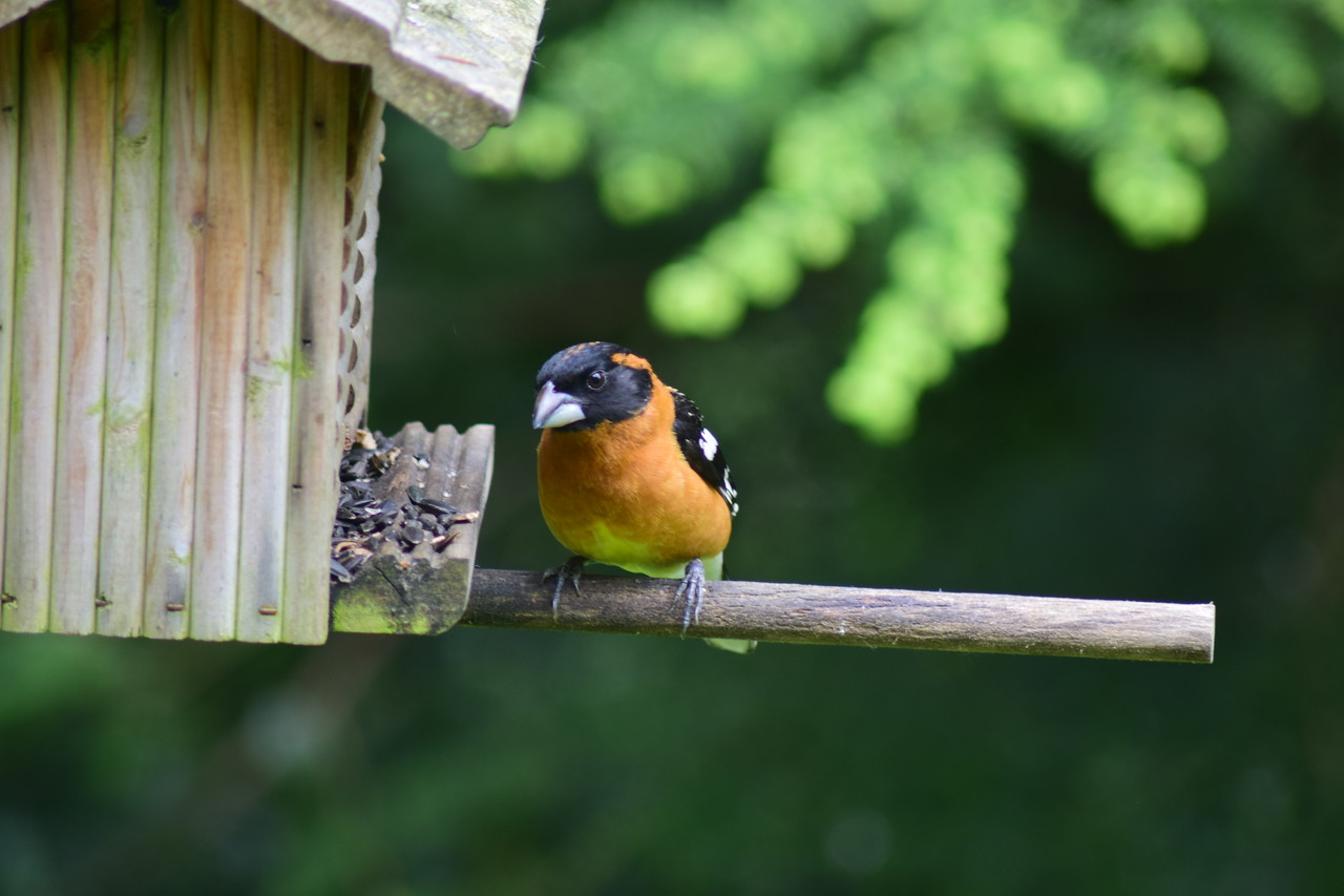 Black-headed Grosbeak Male