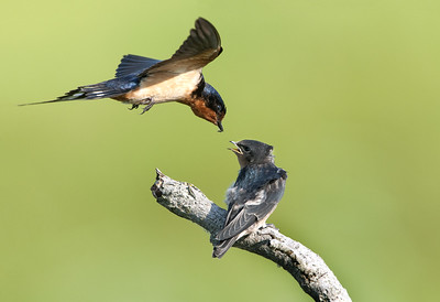 Barn Swallow - Feeding Fledgling