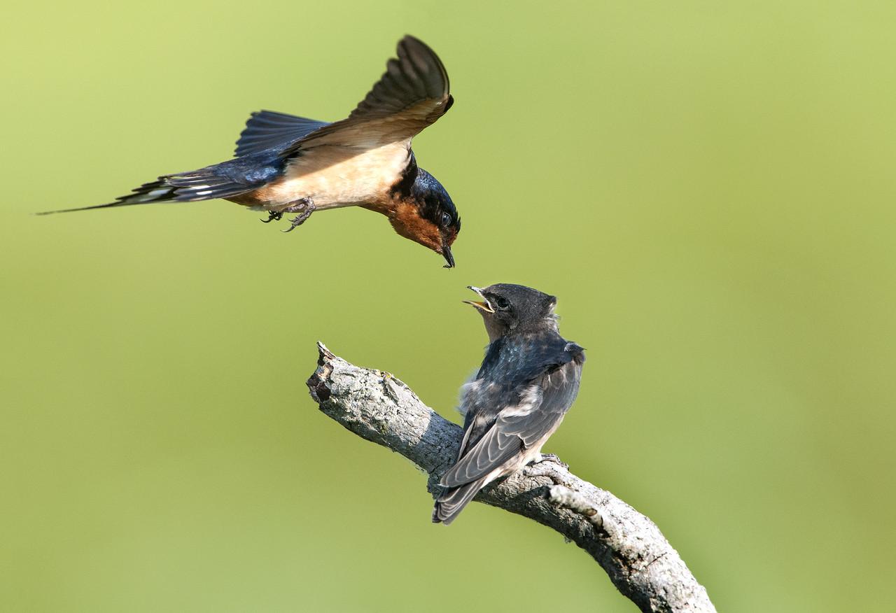 Barn Swallow - Feeding Fledgling