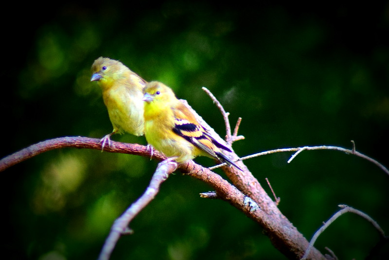 Gold Finch Friends
