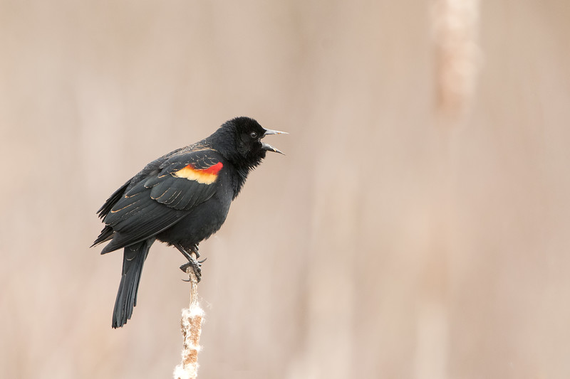 Red-Winged Blackbird - Male - Singing