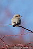 Northern Shrike
