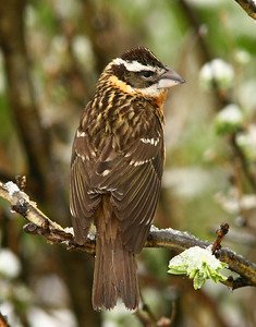 Female Black Headed Grosbeak