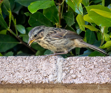 Song Sparrow Juvenile