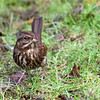 Song Sparrow<br /> 27 NOV 2012