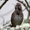 Song Sparrow<br /> 17 JAN 2013