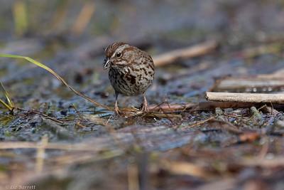 0U2A4300_Song Sparrow