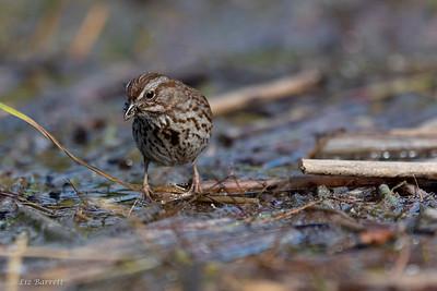 0U2A4300_Song Sparrow_crop