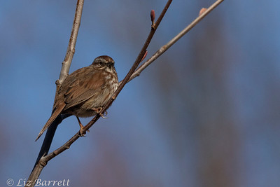 0U2A4304_Song Sparrow