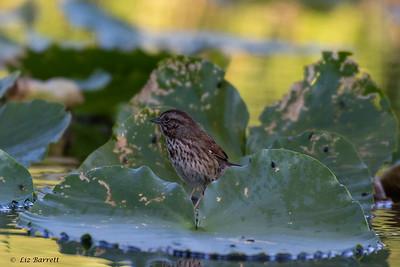 0U2A2833Song Sparrow