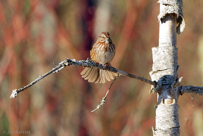_MG_5990Song Sparrow