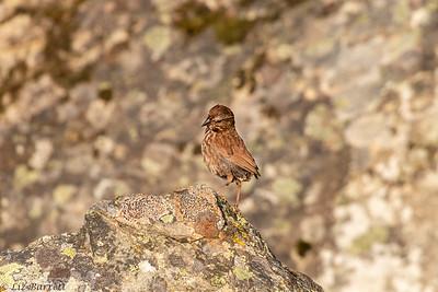 0U2A6223_Song Sparrow
