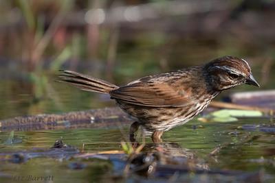 0U2A6263_Song Sparrow