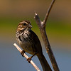 Song Sparrows :
