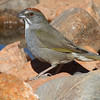 Green-tailed towhee stare