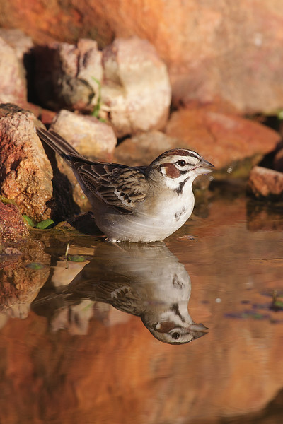 Lark sparrow with reflection
