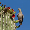 White winged dove with Saguaro fruit
