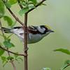 Chestnutsided Warbler