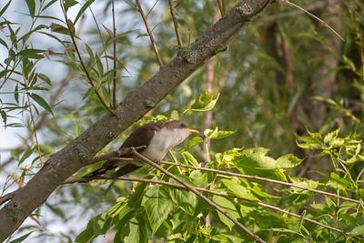 Yellow-billed Cuckoo.