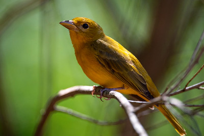Summer Tanager.  Female.