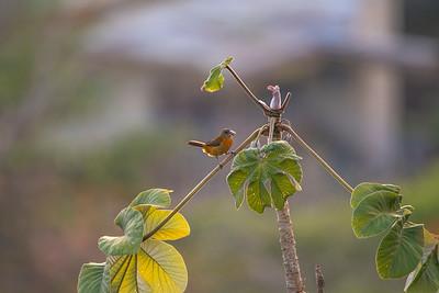 Cherrie's tanager.  Female.