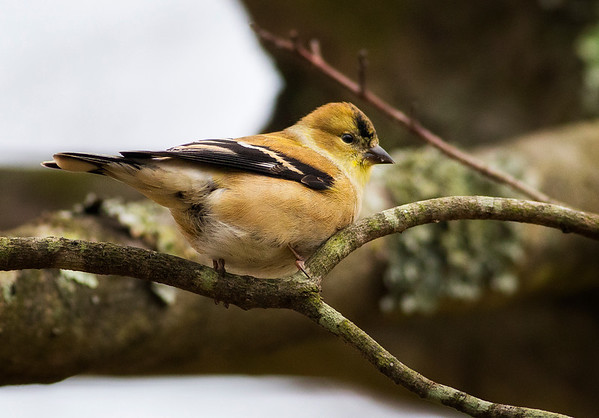 Gold Finch in Winter Plumage