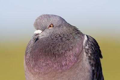 Pigeon Boss