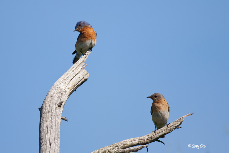 Male & Female Eastern Bluebirds